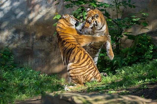 Tigers playing, a sample photo of Sony a6500 hybrid digital camera